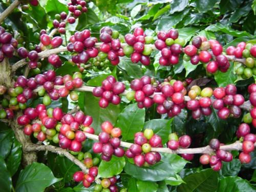 cafe_arabica1