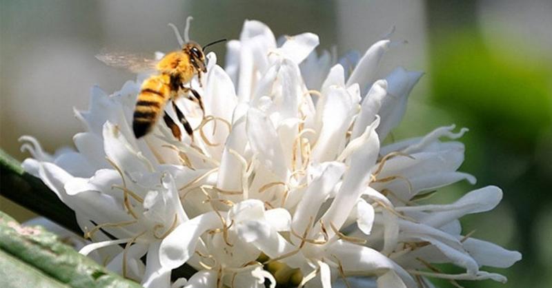 Ong hút mật hoa cafe và giúp cafe thụ phấn chéo