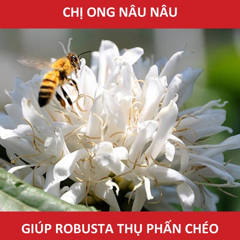 chị ong nâu nâu giúp cây cafe robusta thụ phấn chéo